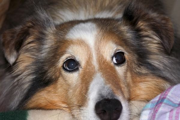 A Portrait of a Beautiful Sable Merle Shetland Sheepdog Resting Her Chin on a Blanket