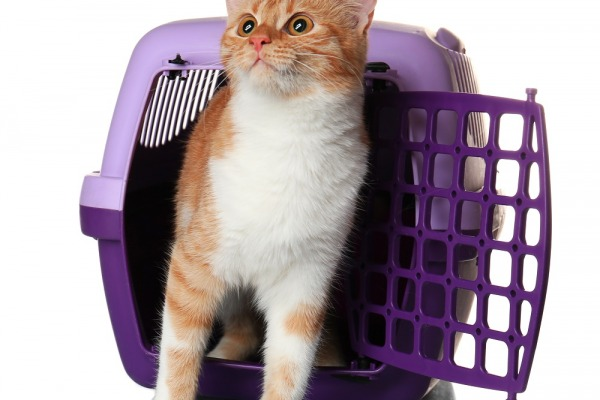 Cat carrier with foxy kitten on white background