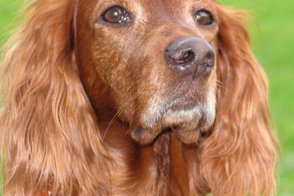 Почему у собак бывают висячие уши, а у волков – нет?