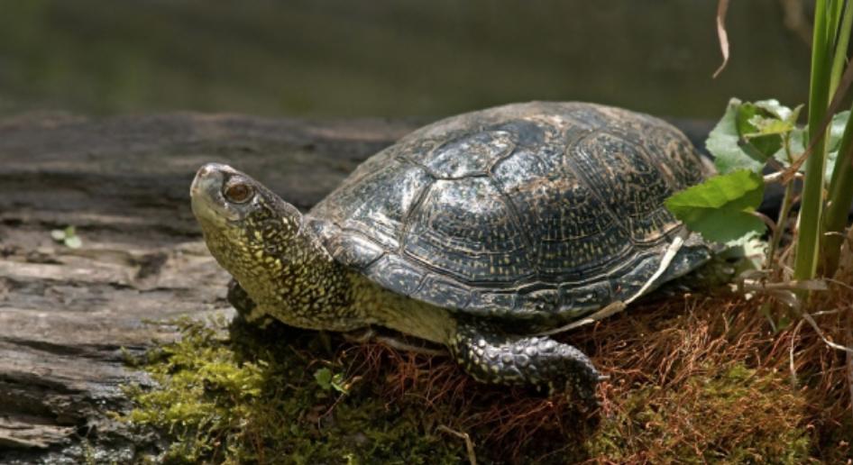 Каспийскач черепаха Телеветеринар