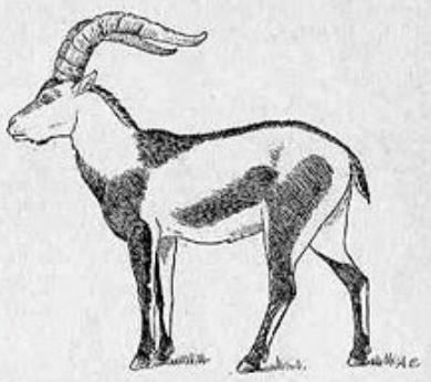 Пиренейский козерог Телеветеринар