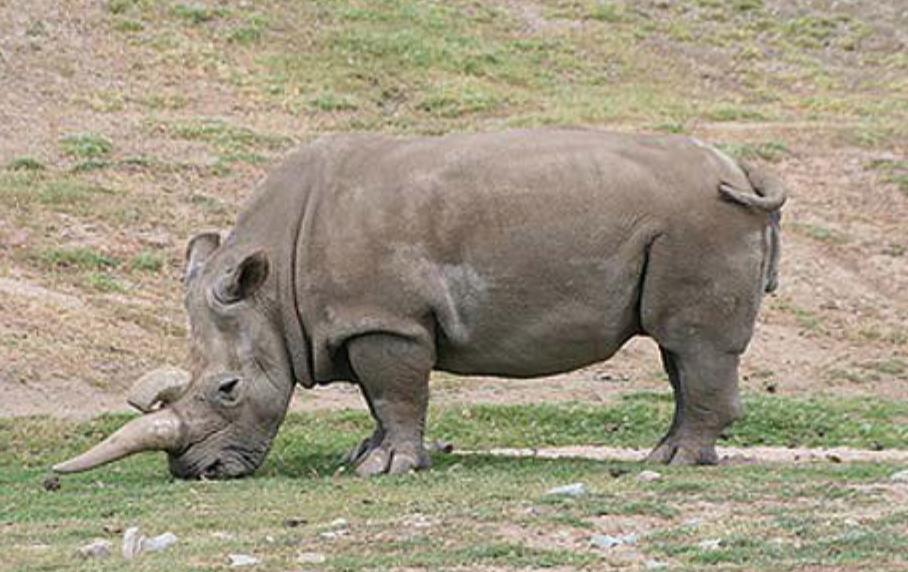 Черный носорог Телеветеринар