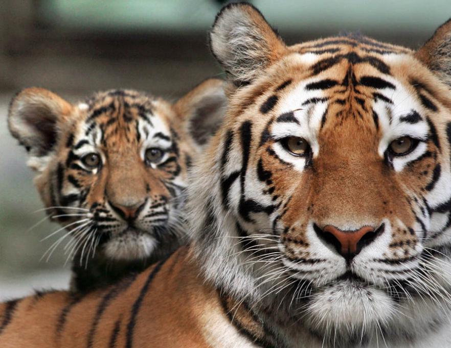 Яванский тигр Телеветеринар