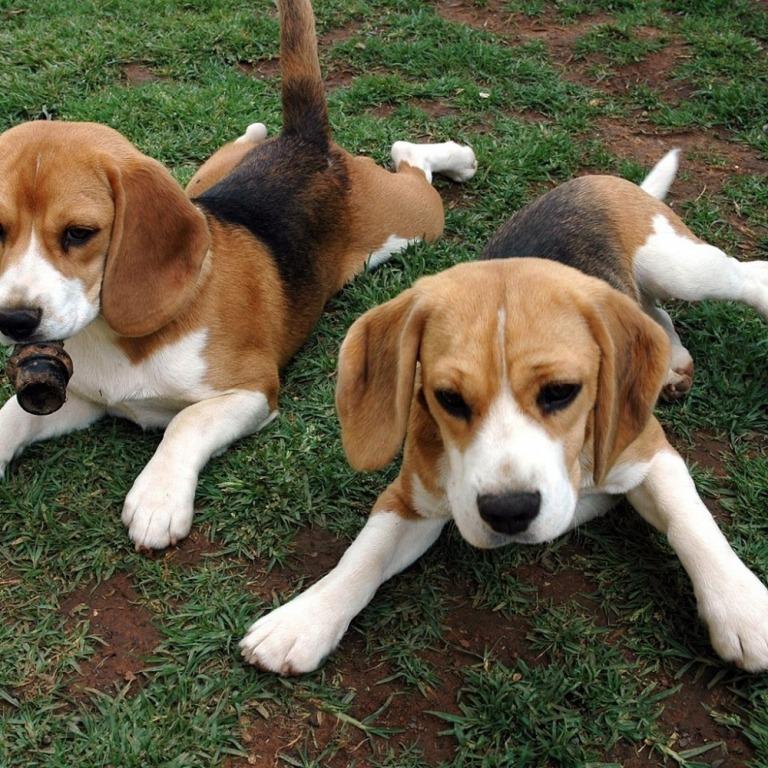 Почему у собак бывают висячие уши, а у волков – нет? Одомашнивание
