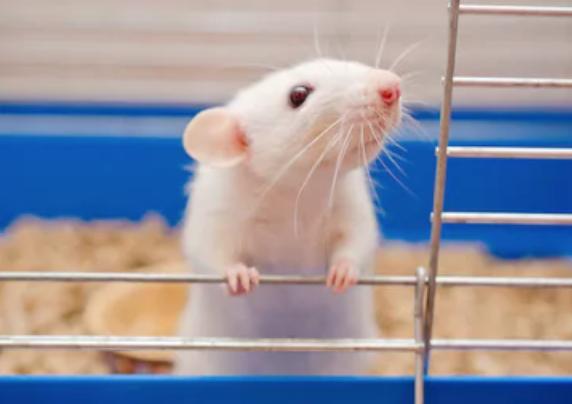 Домашняя мышь Телеветеринар