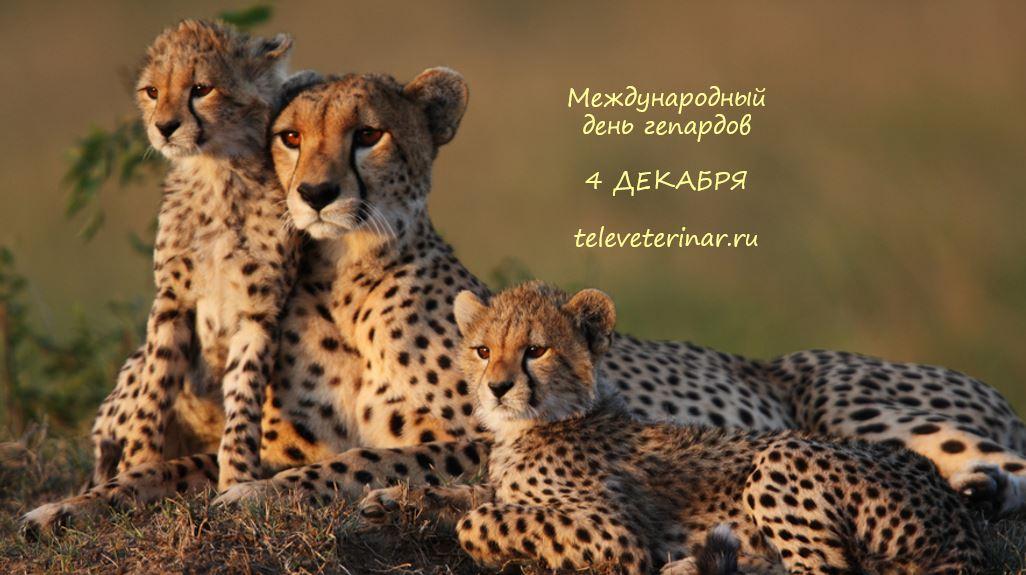 Международный день гепардов-Телеветеринар